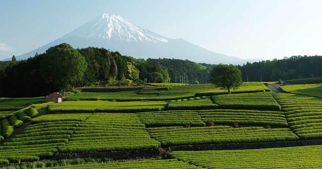 茶畑と富士山の絶景