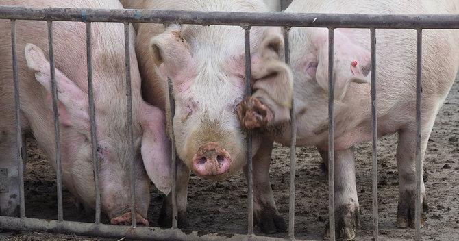 中国豚コレラ