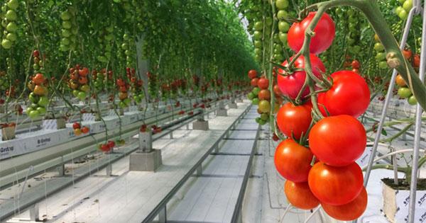 年収7000万円を捨てた元金融マンが「トマト作り」でアジアを魅了するまで