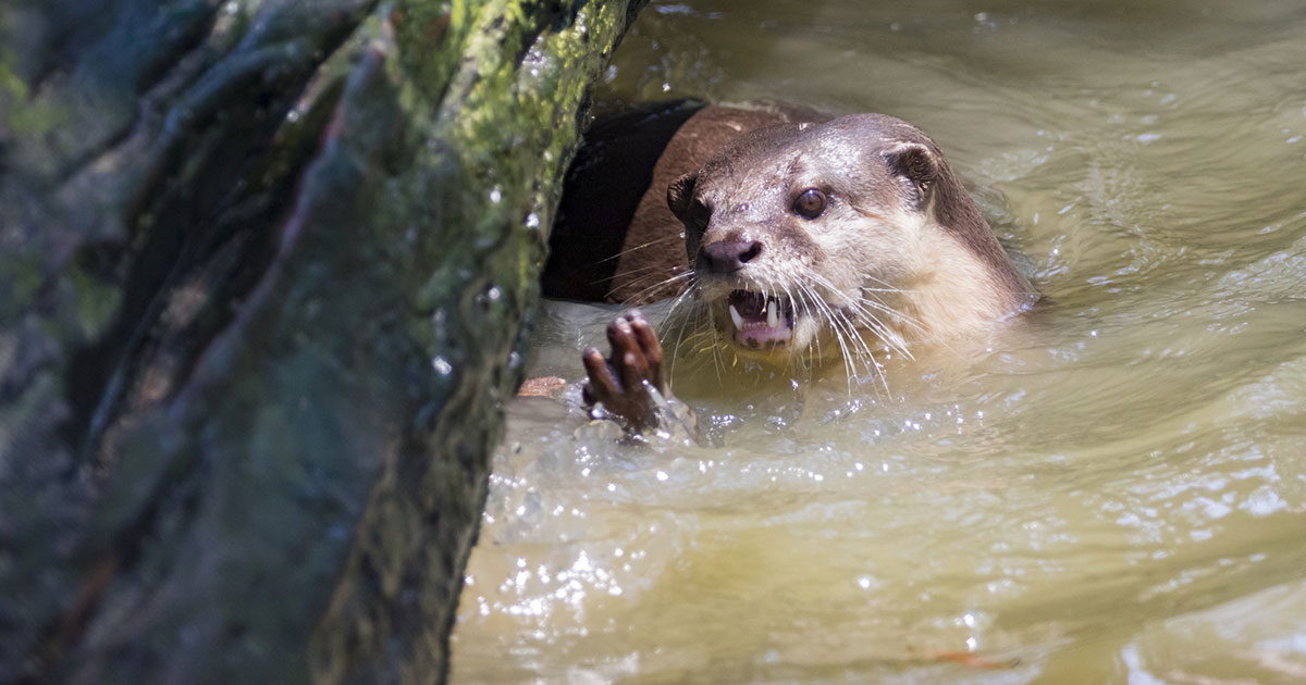「ワニ、食べちゃいます」アマゾン川のカワウソが怖すぎる!