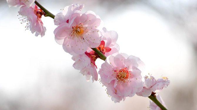 水戸・偕楽園の梅