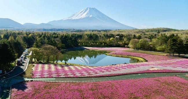 富士芝桜まつり/絶景の芝桜と富士山